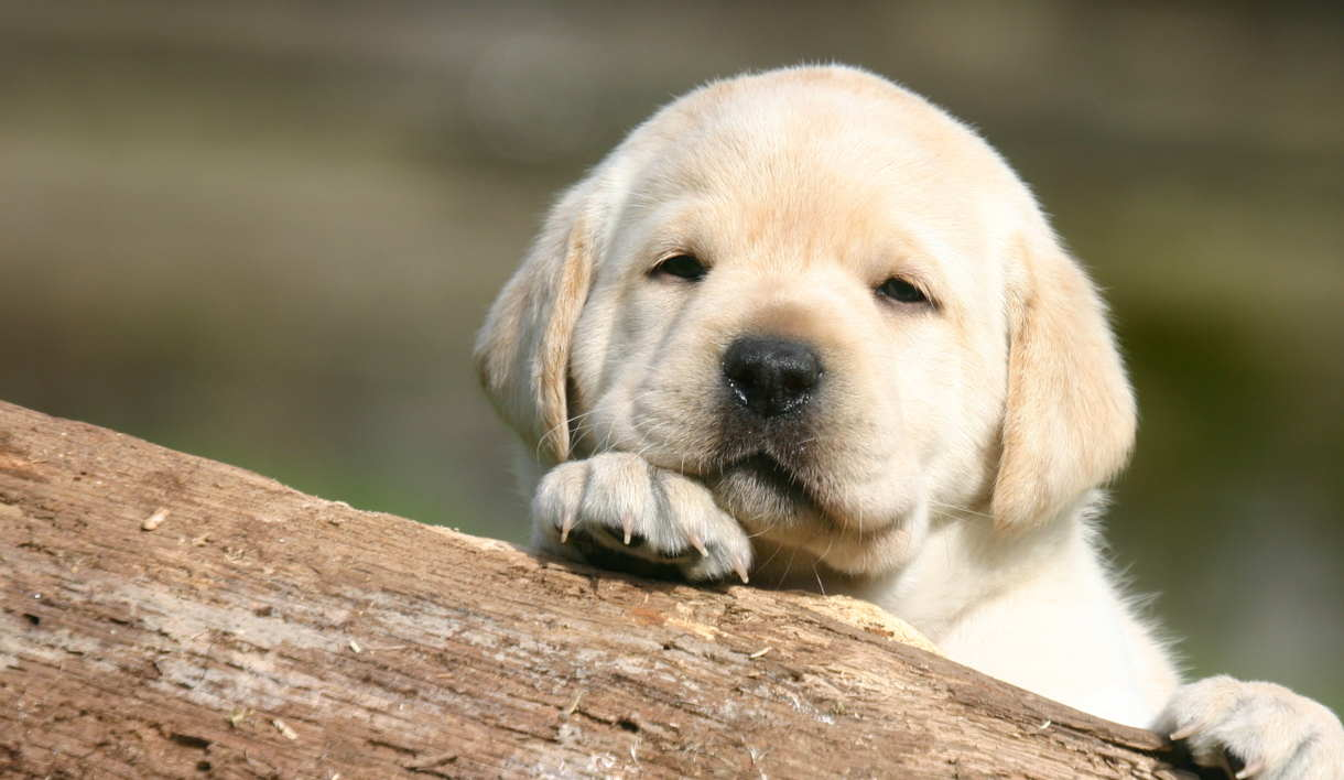 Things to Consider Before Buying a Labrador Puppy