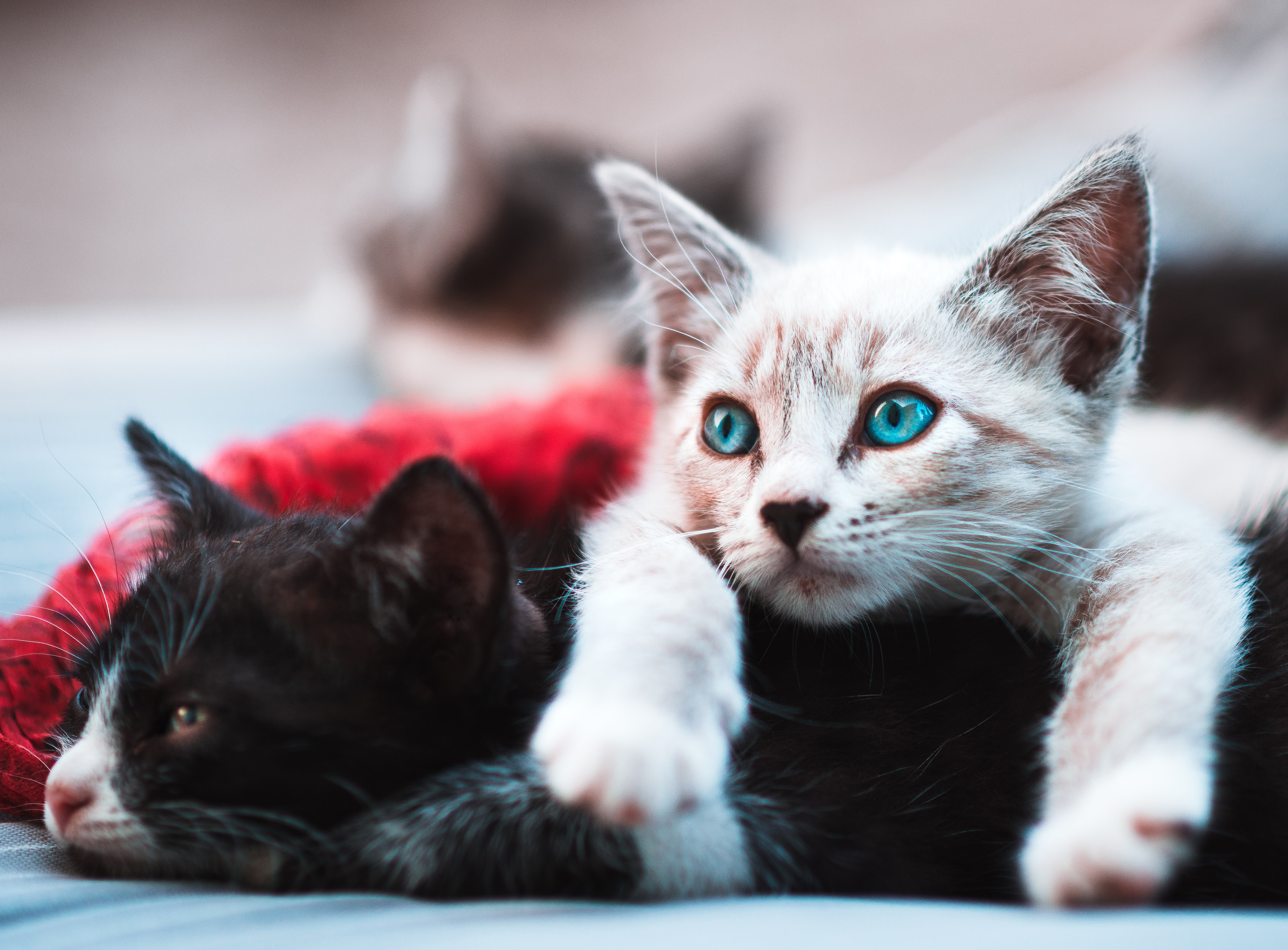 Questions to Ask While Choosing a Cat Breeder