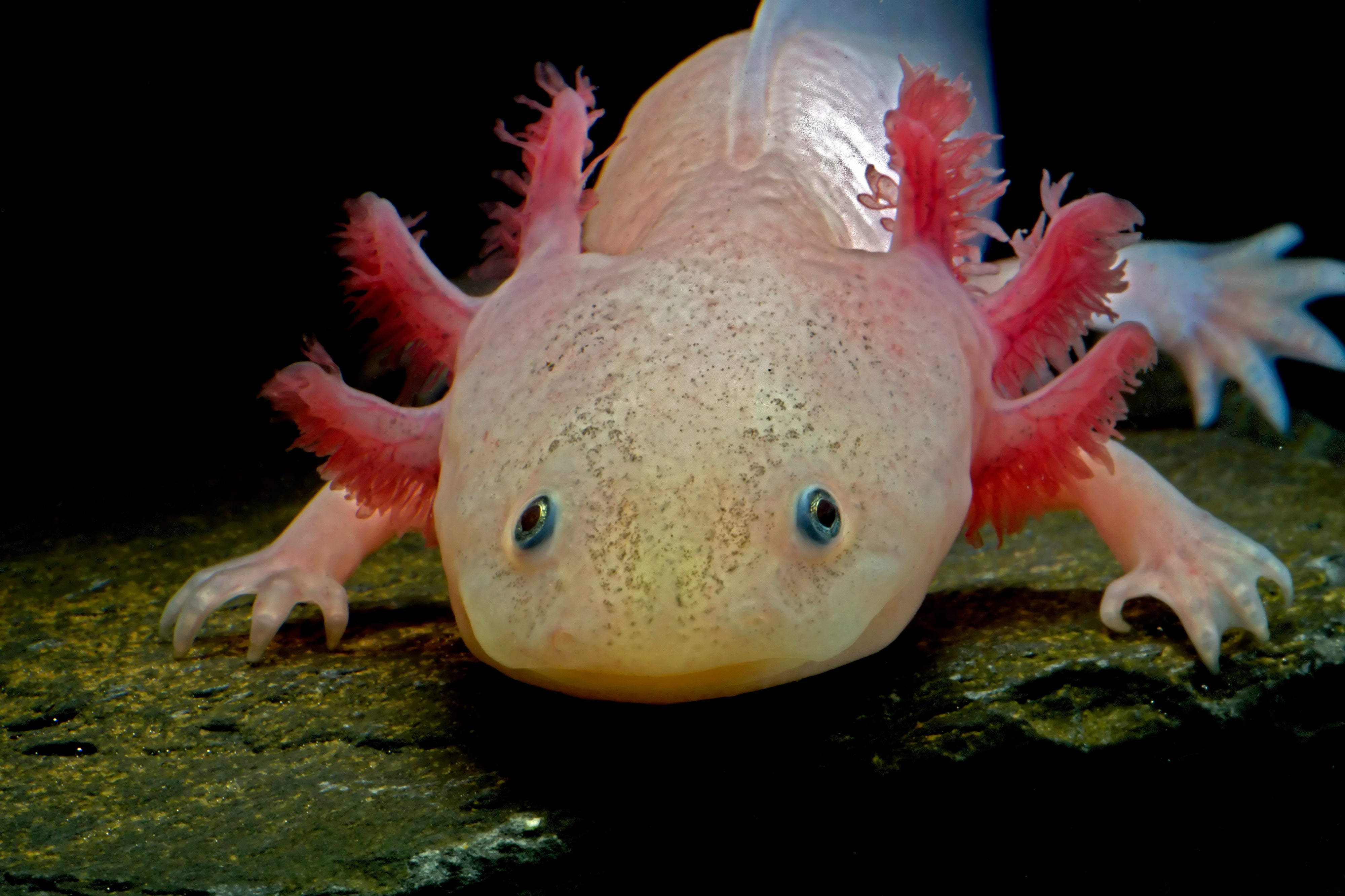 How to Take Care of an Axolotl Properly