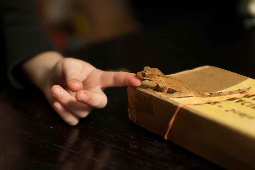 Want to Have a Crested Gecko as Pet? Know The Tips